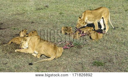Lions In Masai Mara National Park