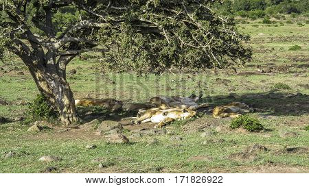 Lions Relax Under A Tree In Masai Mara National Park.