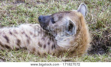 Wild Hyaenae In The Masai Mara National Park