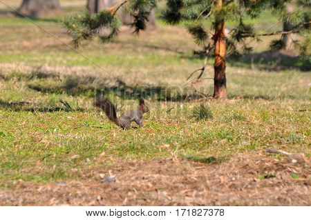 Squirrel looking for food on the ground in the spring after a long winter