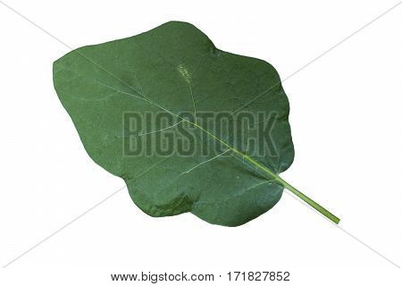 Eggplant leaves isolated on white background, object single.