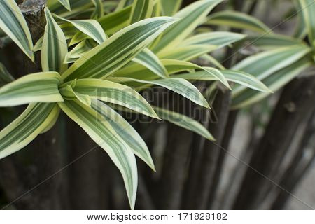 Dracaena Green Leaves Close Up For Background.