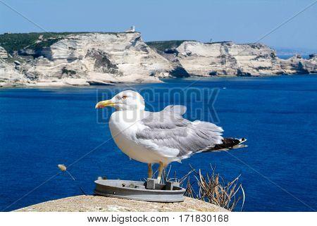 Seagull on the coast of Bonifacio on Corsica France