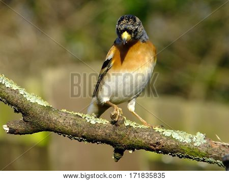 Beautiful brambling perched on old tree branch during wintertime