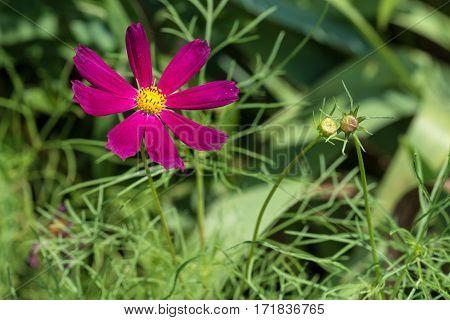Pind and magenta Cosmos flower in green garden background