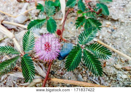 Closeup to Sensitive Plant Flower Mimosa Pudica