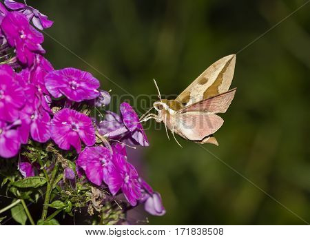 insect hawk moth hovering over the Phlox and collects nectar