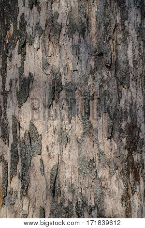 bark of the great maple (Acer pseudoplatanus)