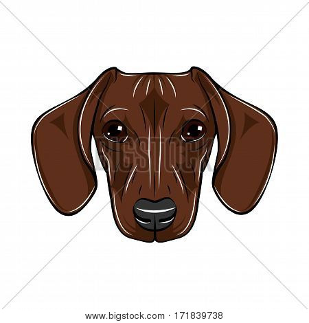 Vector Illustrated Portrait of Dachshund Dog. Cute short haired red dachshund. Isolated on white background
