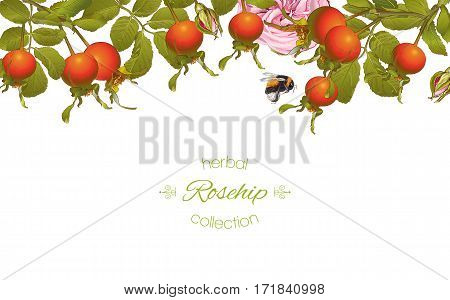 Vector rose hip horizontal banner on white background. Design for tea, homeopathy, herbal cosmetics, health care products. With place for text