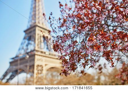 Pink Cherry Blossom In Full Bloom And Eiffel Tower Over The Blue Sky
