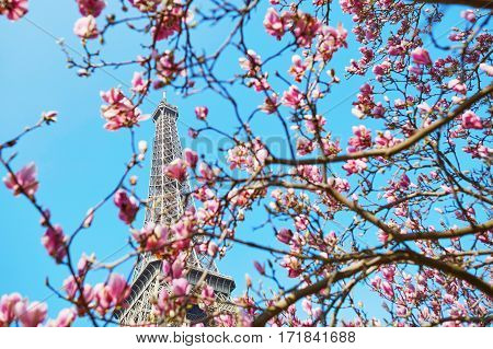 Pink Magnolia In Full Bloom And Eiffel Tower Over The Blue Sky