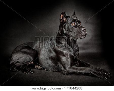 Black dog Cane corso on the black background