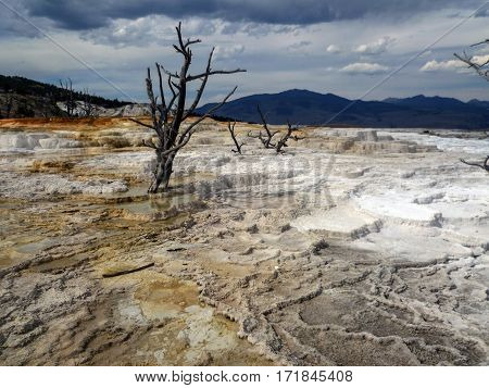 Lonely dead tree in Mammoth Hot Springs, Yellowstone National Park, USA