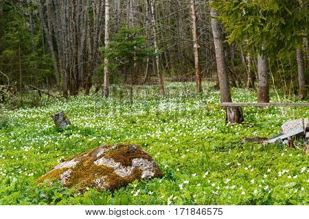 Springtime Is The Moment For This Beautiful Flower. Snowdrop Anemone. Meadow And Big Stone.