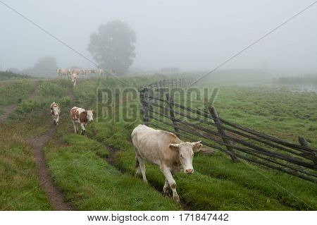 A herd of cows on the grass in the countryside