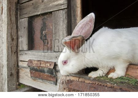 White rabbit looking outside through the cage
