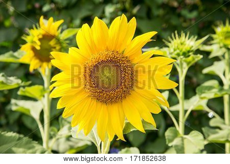 Sunflowers In The Garden.