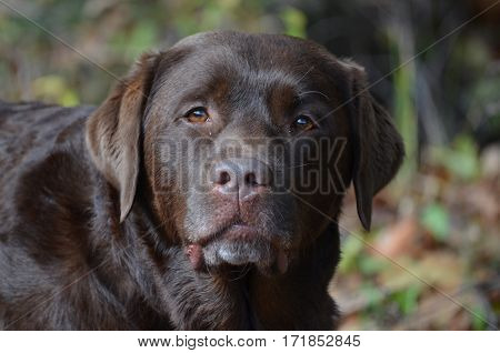 Sweet face of a chocolate labrador retriever pup.