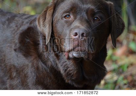 Adorable face of a chocolate labrador retriever puppy dog.