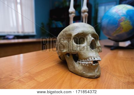 the human skull on the table. educational skull