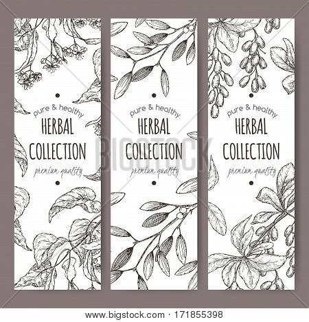 Set of three vector herbal tea labels with lime tree, mistletoe and barberry based on hand drawn sketch.