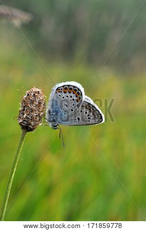 Plebejus argus, Silver Studded Blue Butterfly resting on dry grass in meadow