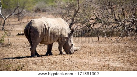 In South Africa     Wildlife     Reserve And   Rhinoceros
