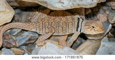 Great Basin Collared Lizard, Adult Male. Death Valley National Park, California, USA.