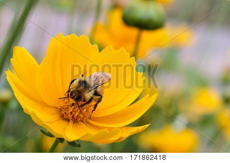 A bee busily collectingnectar from a yellow coreopsis flower with its proboscis