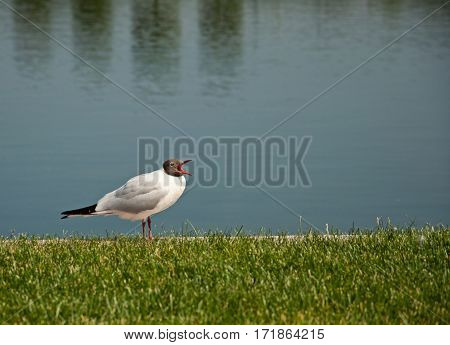 the beautiful white black-headed gull sitting on green grass near water