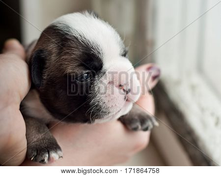Cute French Bulldog Puppy in woman hand