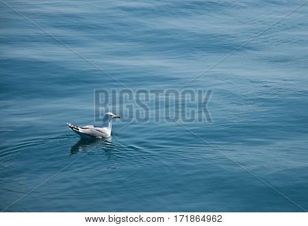 The beautiful white seagull sitting on the blue water. Black Sea Crimea