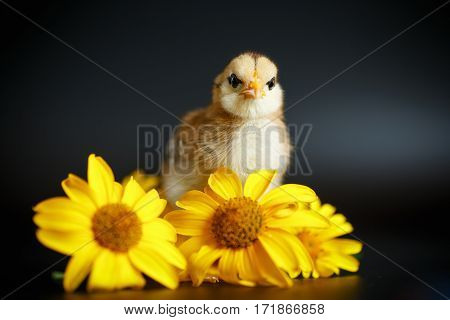 little chick with daisies on black background