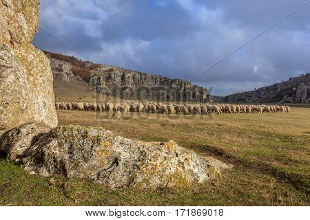 sheep in Geological Reservation Cheile Dobrogei Romania.