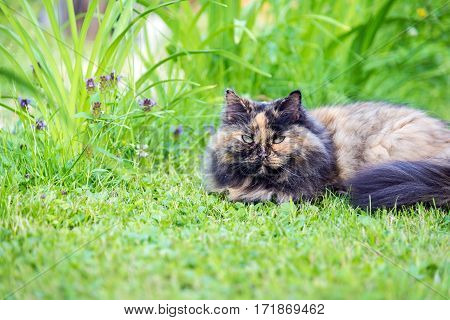 beautiful long-haired tortie calico cat lying on green grass.