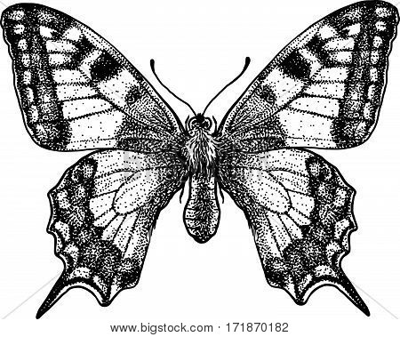 Butterfly illustration, engraving, drawing, ink, insect, realistic