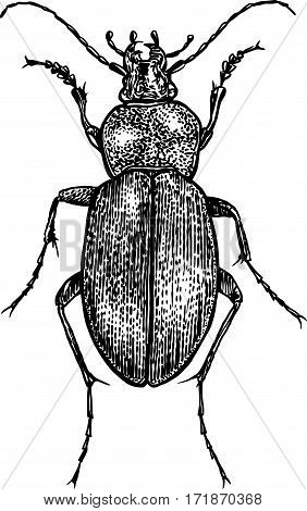 Bug illustration, engraving, drawing, ink, realistic, beetle