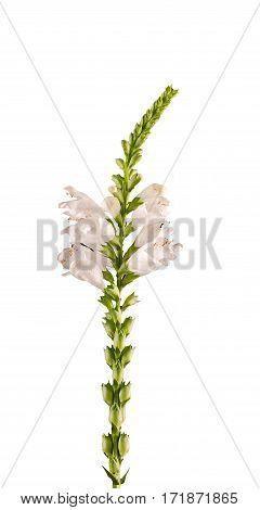 White Physostegia Virginiana, Crown Of Snow, Bushes Of Wild White Flowers.