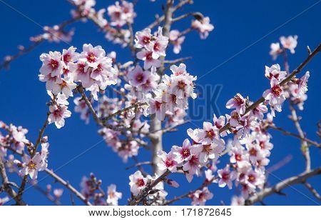 flowering almond trees against dark blue southern sky
