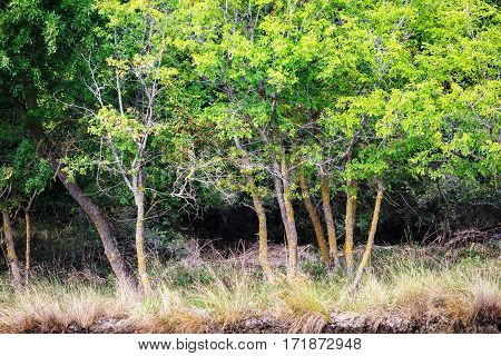 Trees with green leaves and yellowed grass on the shore of the pond. Green vegetation.