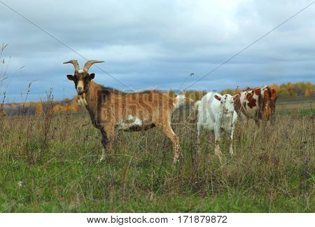 Goat, Nanny-goat, And Cow Grazing In Autumn Field