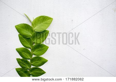 The sprig of leaves on white background of the wall. Tree branch growing on the house side. Fresh natural backdrop with place for text. Textured banner template wedding invitation web design image
