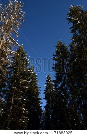 Spruce tops in the snow mountains with a blue sky on the background
