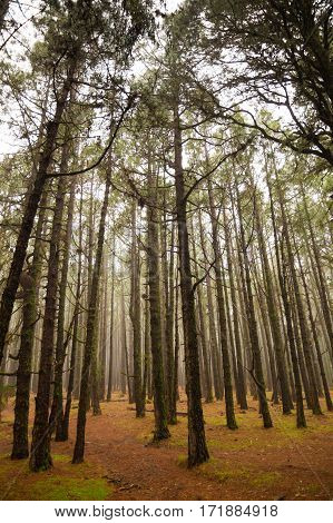 Forest and fog on Teide mountains in Tenerife Canary Islands Spain