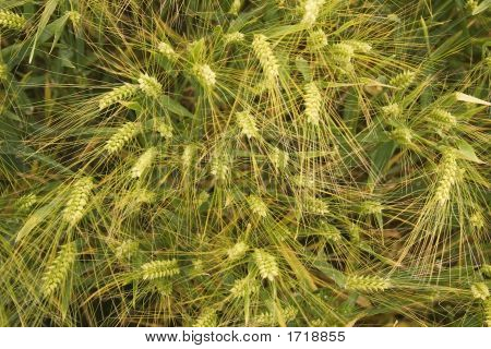 Close Up Of Barley