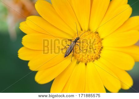 Beetle insect Notobitus montanus Hsiao on Marigold flower. Yellow petals garden medical plant macro view. Shallow depth field