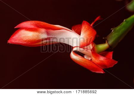 Red Christmas Cactus Flower On Dark Red Background