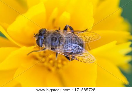 Hoverfly Eristalis on Calendula marigold pollination plant macro view. Yellow petals flower with fly. Shallow depth of field, selective focus photo