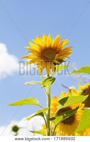 Summer day landscape with sunflower blue sky white clouds background